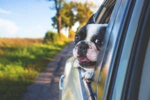 Tête chien voiture